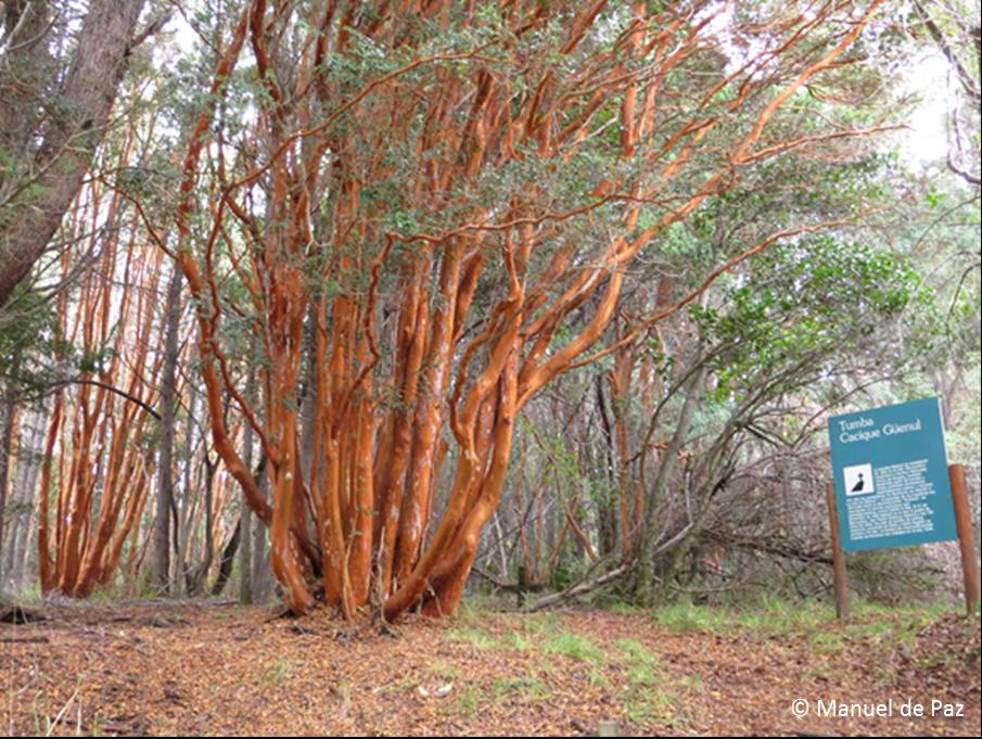 . Tumba del Cacique Güenul en el bosquecillo de arrayanes