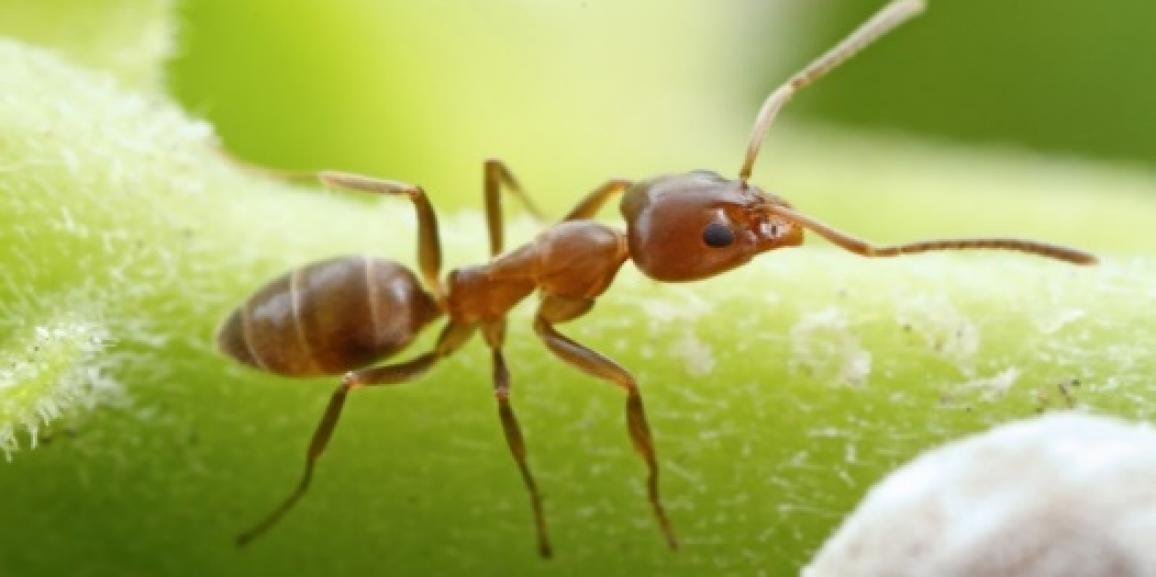 Buscan frenar avance de hormiga invasora en Bariloche